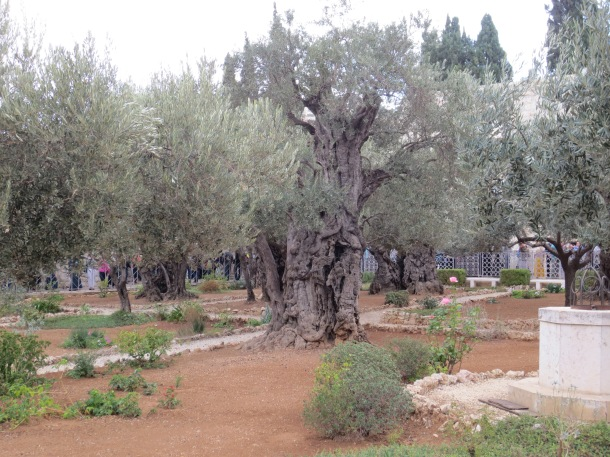 Some of the trees in the Garden of Gethsemene are believed to be up to 2,000 years old.