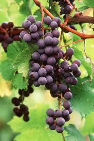 Fruitful Vine
